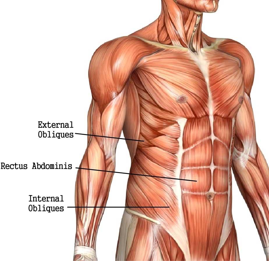 Ανατομία κοιλιακών μυών
